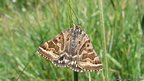Mother Shipton (c) M Parsons / butterfly conservation