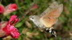 Humming-bird hawk-moth (c) D Green / butterfly conservation