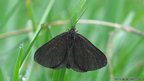 Chimney sweeper (c) M Parsons / butterfly conservation