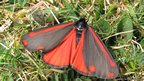 Cinnabar (c) M Parsons / butterfly conservation
