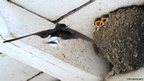 A swallow arrives to feed up its young