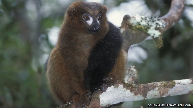 Red-bellied lemur on a branch
