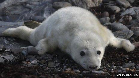Seals at the Calf of Man