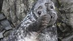 Seals on the Calf Of Man (Courtesy Manx Wildlife Trust)