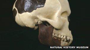 Reconstructed Piltdown Man skull