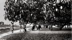 Mango grove in a village in Uttar Pradesh state in 1996