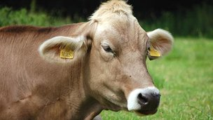A cow (generic)