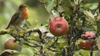 A robin in an apple tree