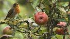 A robin in an apple tree
