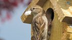House sparrow in nest box