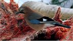 Eurasian jay on carcass