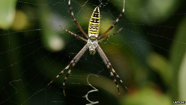 Wasp spider on decorated web