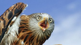 British birds - red kite
