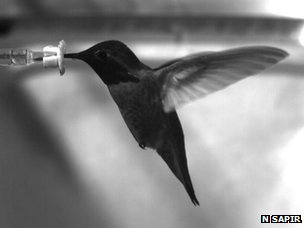 Hummingbird feeding from a sucrose-filled syringe (c) Nir Sapir