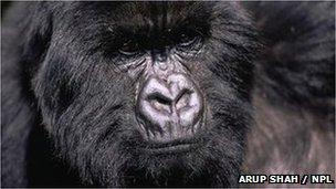 Eastern gorilla (Arup Shah / NPL)
