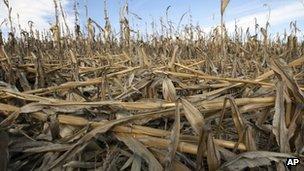 Corn plants damaged by drought in Nebraska