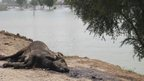 Dead water buffalo in Pakistan