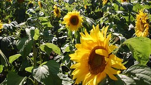 Sunflower maze at Guernsey&#039;s Saumarez Park