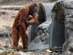 Tori, a 15-year-old orangutan carries her baby