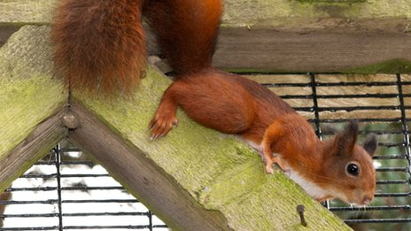 Kelling Heath's female red squirrel
