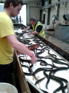 Eel processing plant
