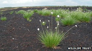 Cotton grass on Little Woolden Moss