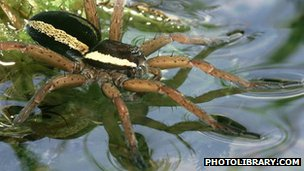 A raft spider on water