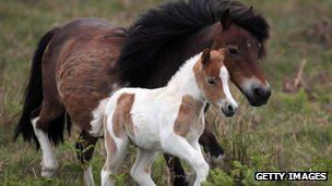 Dartmoor pony and foal