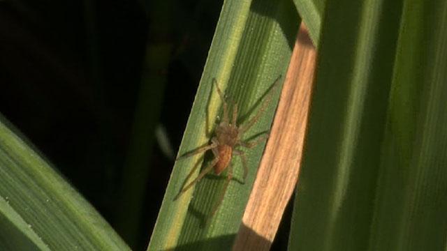 A baby fen raft spider post-release