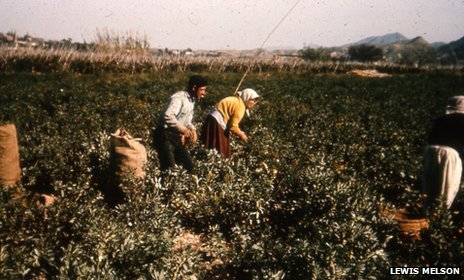 Agricultural workers picking tomatoes in Palomares
