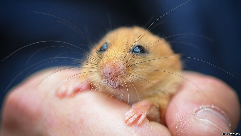 Hazel dormouse in the hand of Chester Zoo staff & BBC Nature - Microchips for northern dormice