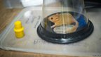Anaesthetising a dormouse