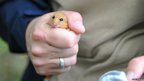 A dormouse in the hand of Chester Zoo staff