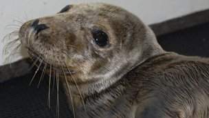 A seal at Guernsey's GSPCA