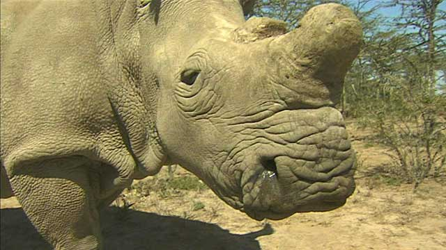 A rhino in Kenya