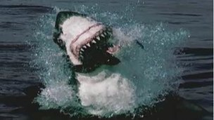 Great white shark: BBC Nature