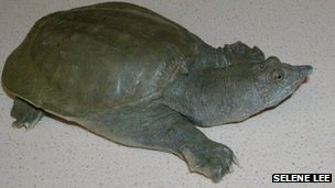 The Chinese soft-shelled turtle Pelodiscus sinensis