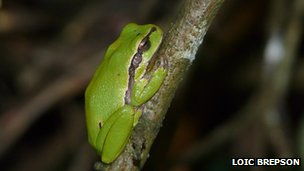 Resting male frog