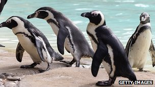 Penguins at London Zoo in August 2012