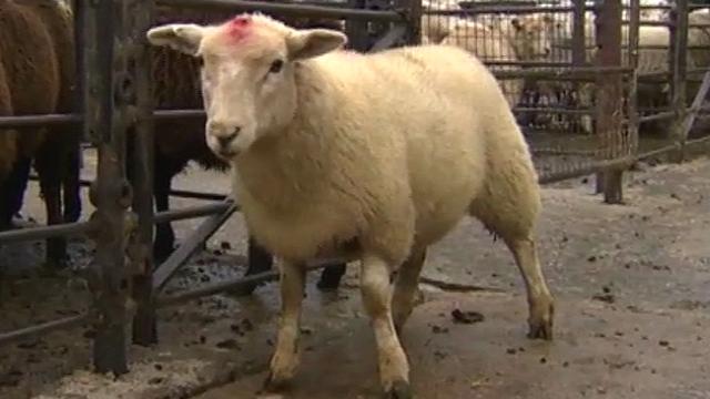 A sheep at the market
