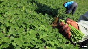 Kenyan farmer holding beans