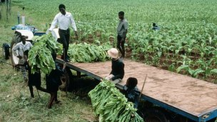 Tobacco farmers in Malawi