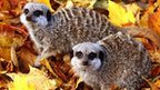 Meerkats play in the foliage