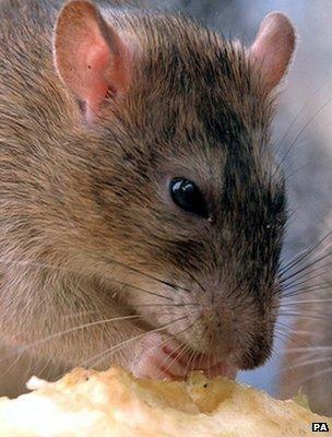 A rat (Image: PA)