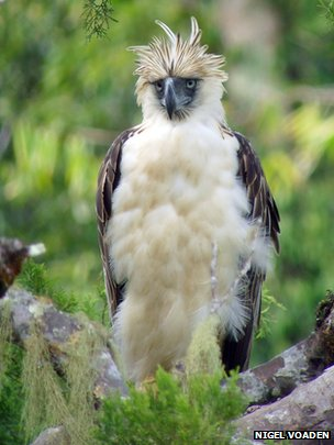 Phillippine eagle
