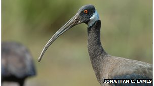 White shouldered Ibis