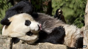 Mei Xiang, a giant female panda, rests at the National Zoo in Washington, 11 October 2012