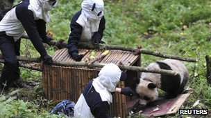 Researchers in panda suits waiting for giant panda Taotao to get into a cage, Sichuan province, 7 October 2012