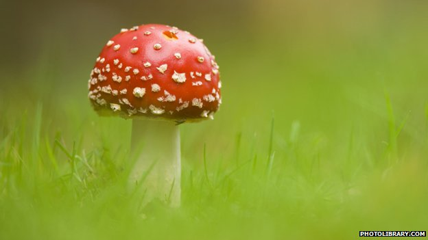 Fly agaric toadstool growing in grass, Hampstead Heath, London, England.