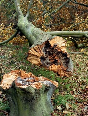 Beech tree felled during the 1987 Great Storm (Image: BBC)